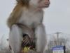 Java Macaque