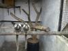 Common  Marmosets