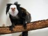 White-fronted marmoset