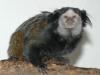 Wied's black tufted-earr marmoset