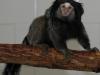 Black-pencilled marmoset