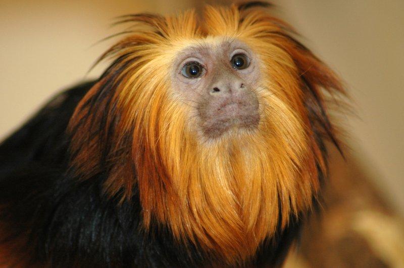 Golden-headed lion tamarin - Adult Face