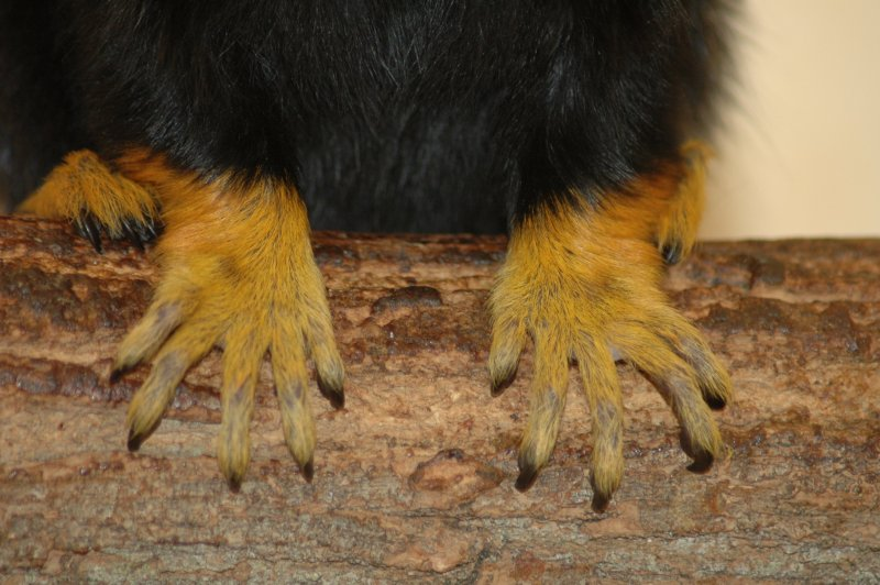 Midas tamarin - Hands