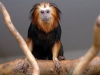 Golden-headed lion tamarin - Youngster