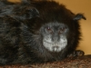 Spix\'s Black-mantled Tamarin