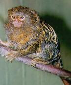 pygmy1i