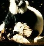 lemur1i