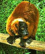 lemur2i