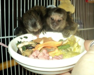 Marmosets Eating