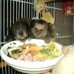 marmosets_diet