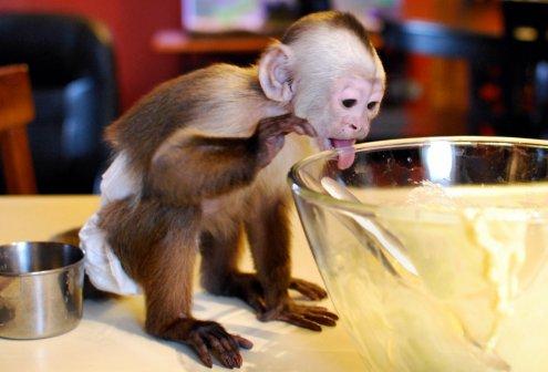 Capuchins As Pets Capuchin Care Sheet