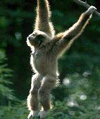 gibbon1i