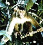 pigtailedmacaque