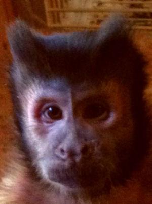 Capuchin Monkey Tiki