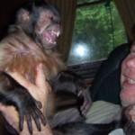 black cap capuchin tiki