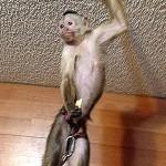 wedge-cap capuchin casper