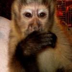 baby capuchin in troop
