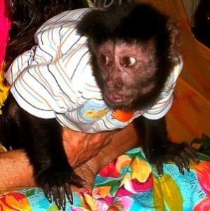 pincher alpha male capuchin