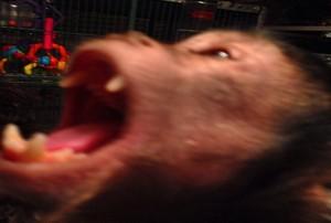 teeth capuchin