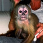 capuchin with food allergies