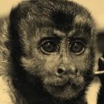 penny capuchin monkey