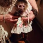 aging capuchin monkey