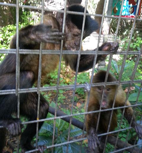 aging capuchin pair