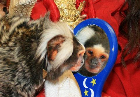 aging marmoset