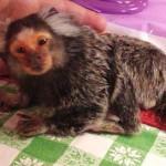 aging marmoset monkey