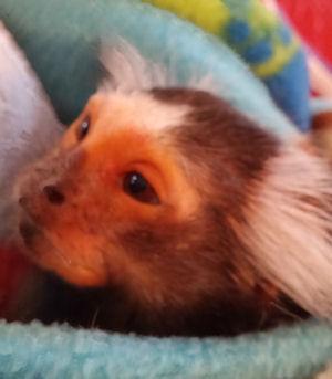 closeup aging marmoset