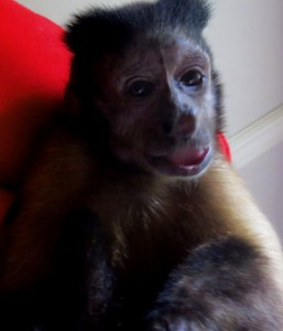 happy old capuchin monkey