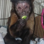 old depressed capuchin monkey