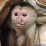 casper capuchin