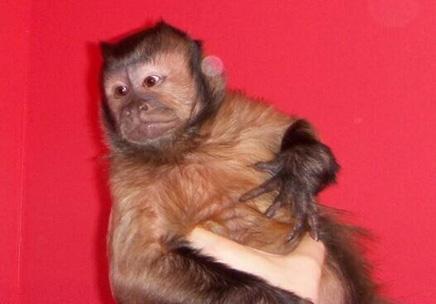 tiki capuchin monkey