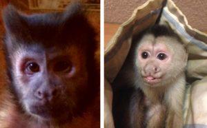 capuchin monkey males