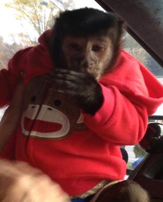 hyper capuchin monkey