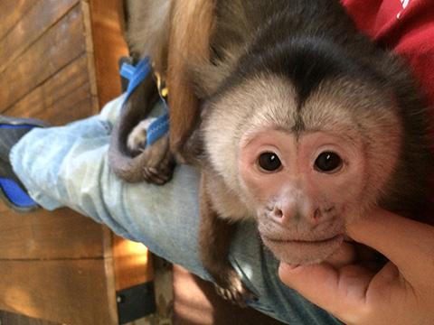 benji capuchin napping