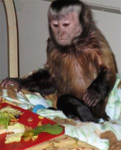 capuchin in high chair