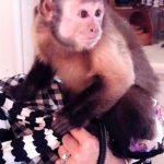 capuchin on leash