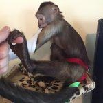 cooper capuchin getting dressed