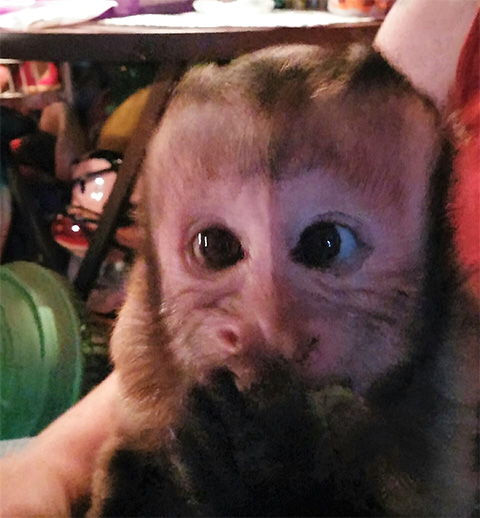 opie capuchin monkey rehome