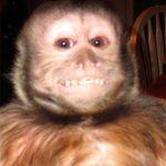 sophie capuchin monkey