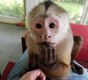 benji capuchin monkey