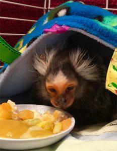 aged-marmoset