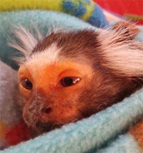 closeup marmoset chewie