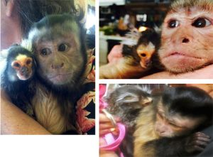 marmoset chewie and capuchin opie together
