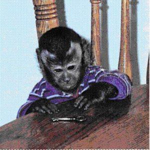 benji capuchin