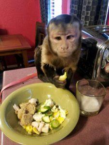 capuchin eating breakfast