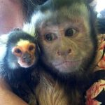 capuchin with marmoset