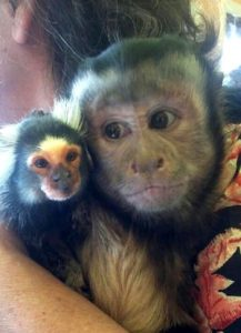 capuchin with marmoset